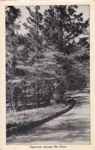 Dogwood Tree Among The Pines, N.C. PU-1952