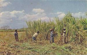 Cutting sugar canes at harvest time, Jamaica, PU