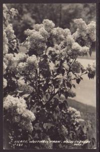 Lilacs,Whitnall Park,Hales Corners,WI Postcard