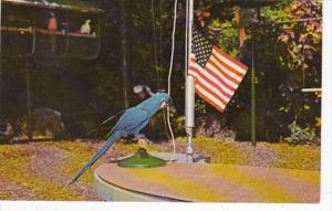 Florida Miami Jacky The Performing Macaw Raising Flag Parrot Jungle Red Road ...