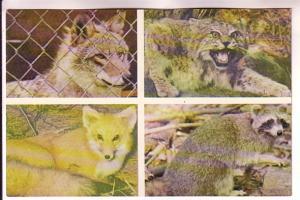 Fourview, Wolf, Fox, Bobcat, Raccoon, Maine, Photo Dave Walker