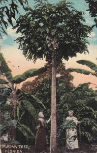 Paw Paw Tree , Florida , 00-10s