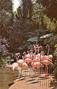 Flamingos Stately Pink Flamingos St Petersburg, Florida, USA Postal Used Unknown