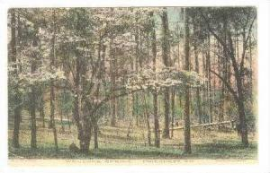 Welcome SPRING!, Pinehurst, North Carolina, PU-1911