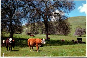 California San Joaquin Valley Foothills Cattle Grazing