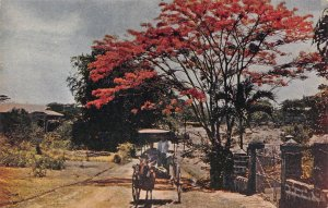 Carromata Passing Under Beautiful Flame Tree, Manila, Philippines