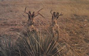 Jackalope, Wyoming's Eccentric Animal, THERMOPOLIS, Wyoming, PU-1973