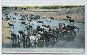 Horses Watering Round Up Ranching Country Western 1910c postcard
