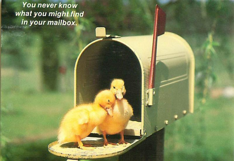 Comic Novelty Ducklins in Mailbox Flag up for pickup Postcard 7616