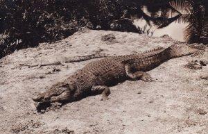 My Cat Killed A Snake Alligator Old Real Photo Postcard