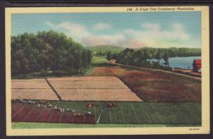 A Cape Cod Cranberry Plantation