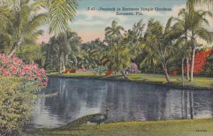 Florida Sarasota Peacock In Sarasota Jungle Gardens Curteich