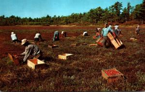 Massachusetts Cape Cod Cranberry Picking Time