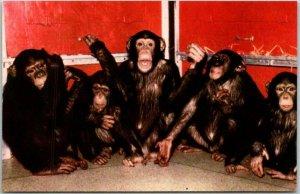 1950s Chicago, Illinois Postcard LINCOLN PARK ZOO The Chimpanzee Chrome Unused