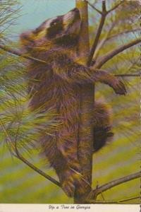 Raccoon Up A Tree In Georgia