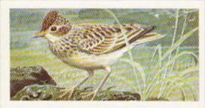 Brooke Bond Tea Trade Card Wild Birds In Britain No 17 Skylark