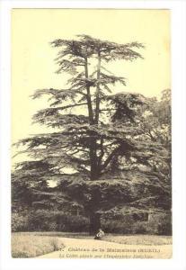 Le Cedre Plante Par l'Imperatrice Josephine, Chateau De La Malmaison (Rueil),...