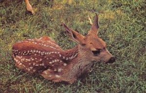 Canada Mule Deer British Columbia