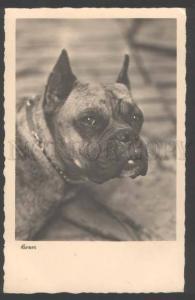 109446 Nice BOXER Dog w/ Collar Vintage PHOTO PC