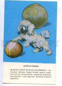 237237 Bolognese Dog by Glikman old russian card