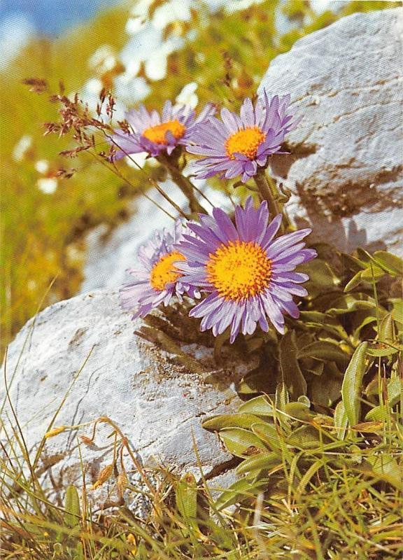 Alpenastern Foto: Konrad Tonges, Mountain Flowers, Fleurs