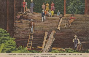 BRITISH COLUMBIA, Canada, 30-40s ; Giant Tree Felled 1895