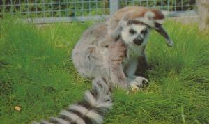Ring Tailed Lemur 1970s Colchester Essex Zoo Rare Postcard