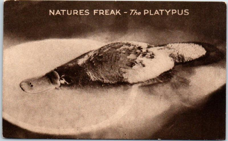 Vintage HEALESVILLE, Australia Postcard NATURE'S FREAK - THE PLATYPUS Unused