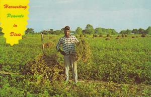 Peanut Harvest in Dixie - Harvesting Peanuts