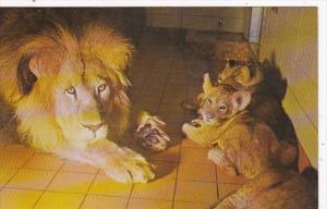 Wisconsin Milwaukee Male Lion With Cubs At Milwukee County Zoological Park