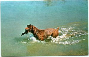 postcard Dog retrieving duck in water