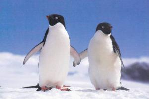 2 Penguins on Ice Postcard #8