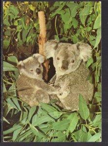 Koalas,San Diego Zoo,San Diego,CA BIN