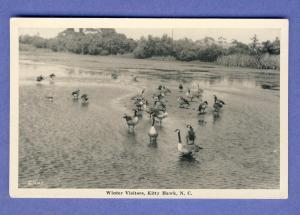Kitty Hawk, North Carolina/NC Postcard,Winter Visitors/Ducks