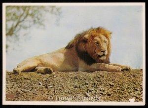 Maned Lion - Kruger National Park