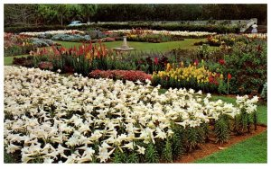 Easter LIllies At Government Agriculture Station Paget Bermuda Postcard PC1311