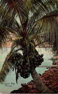 Florida Coconut Tree Bearing Fruit