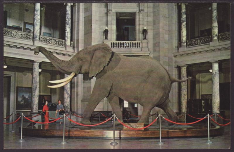 African Elephant,Smithsonian,Washington,DC Postcard