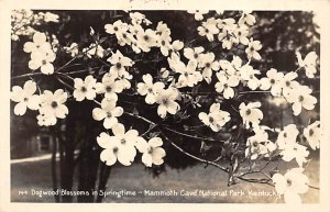 KY Postcard, Kentucky Post Card Dogwood blossoms and springtime Mammoth Cave ...