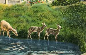NH - Pittsburg. Baldwin's Trained Deer