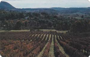 Grape Vines on Hills at Naples NY, New York