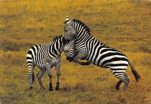 African Wild Life, Zebra - Kenya