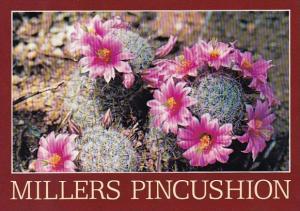 Millers Pincushion Cacti Flowers