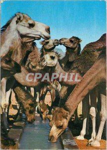 Modern Postcard Sweet kisses from Tunisia Camels