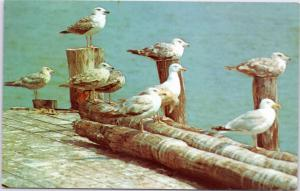 Sea Gulls at rest on old pier, Cape Cod, Massachusetts