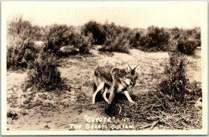 Vintage 1940s RPPC Real Photo Postcard COYOTE The Desert Outlaw Marked Reno NV