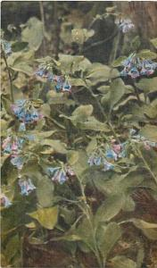 Virginia Bluebell, Meriensia Virginica Flower Divided Back