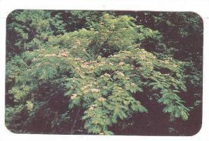 The Silk-Tree or Hardy Mimosa ( Albizzia julibrissin var-rosea),Brooklyn Bota...