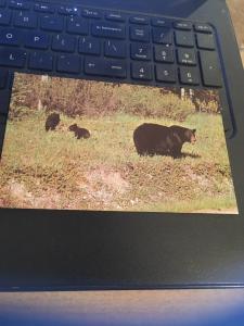 Vintage Postcard: Mama Black bear and cubs
