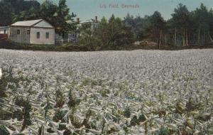 BERMUDA, 1900-10s ; Lily Field